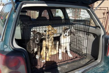 romanian rescue puppies leaving on transport