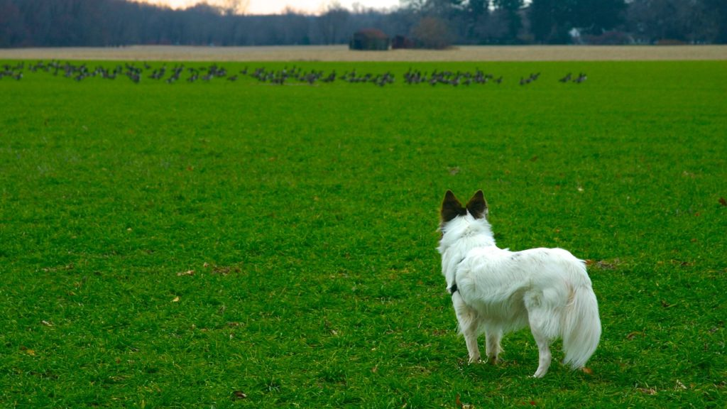 dogs behaviour distance distractio