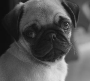 dogs behaviour pug